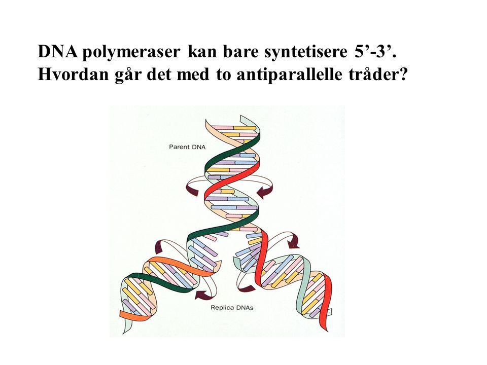 DNA polymeraser kan bare syntetisere 5'-3'. Hvordan går det med to antiparallelle tråder?