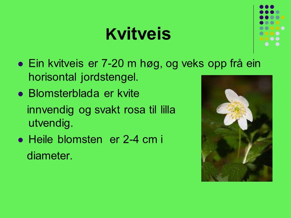 K vitveis Ein kvitveis er 7-20 m høg, og veks opp frå ein horisontal jordstengel.