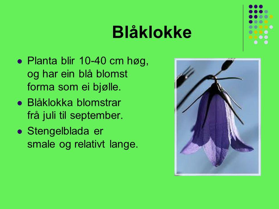 Blåklokke Planta blir 10-40 cm høg, og har ein blå blomst forma som ei bjølle.
