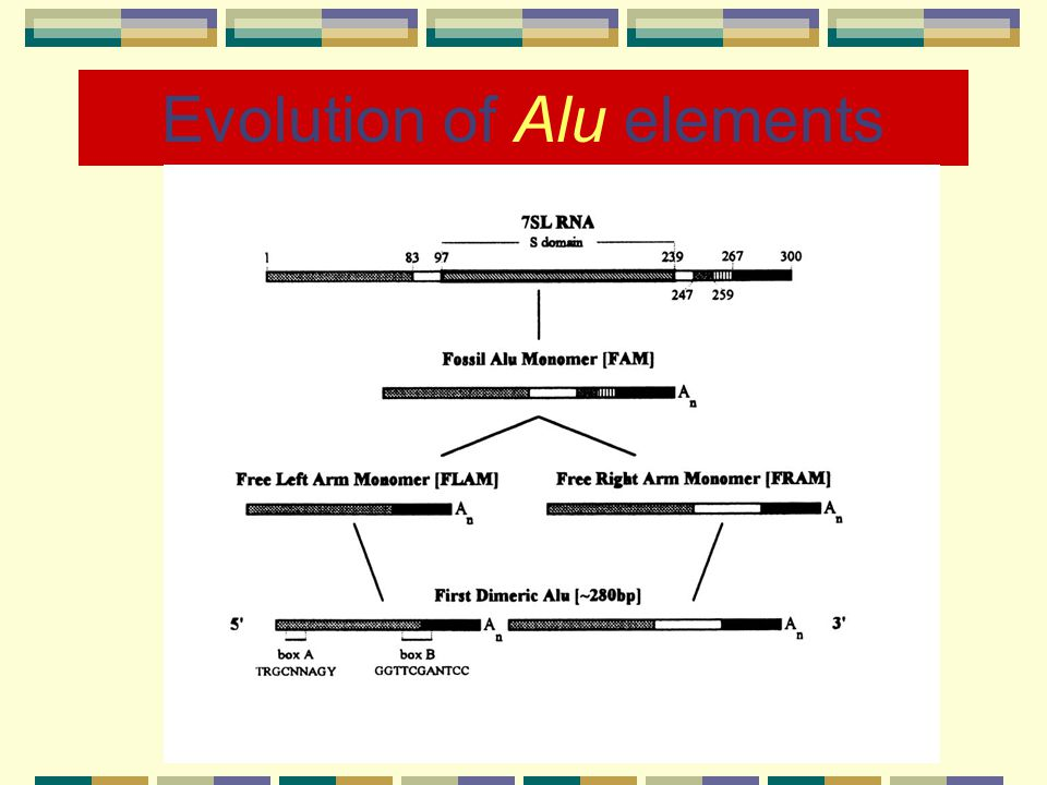 Alu elements Length = ~300 bp Repetitive: > 1,000,000 times in the human genome Constitute >10% of the human genome Found mostly in intergenic regions and introns Propagate in the genome through retroposition (RNA intermediates).