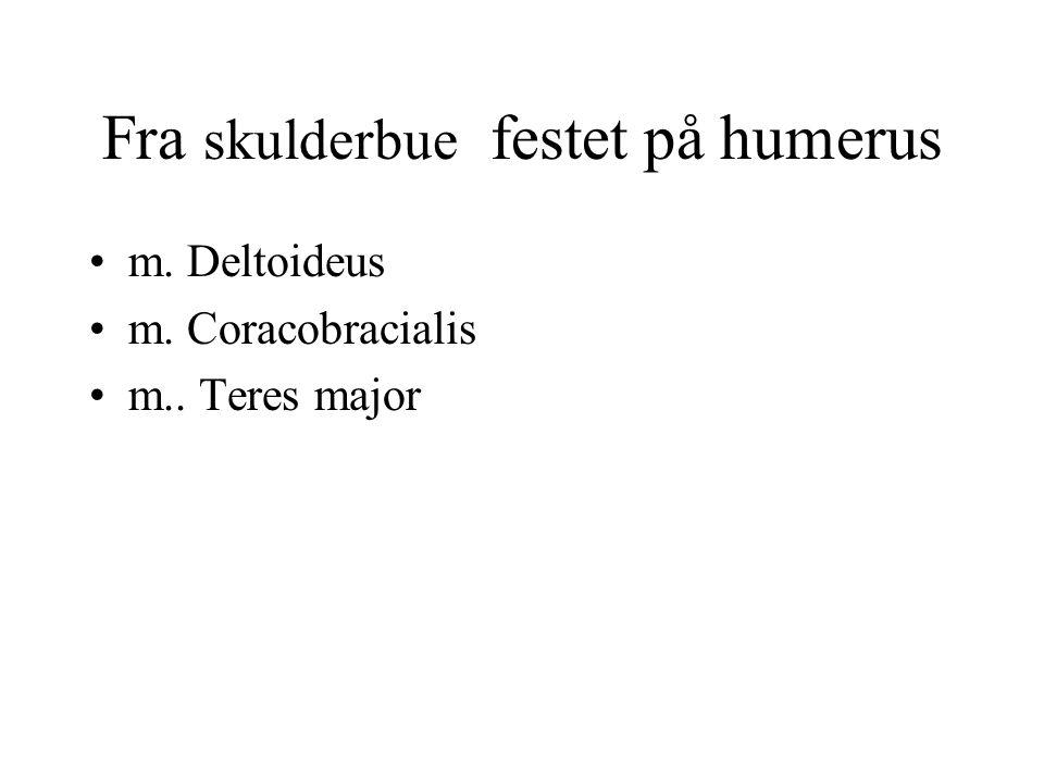Fra skulderbue festet på humerus m. Deltoideus m. Coracobracialis m.. Teres major