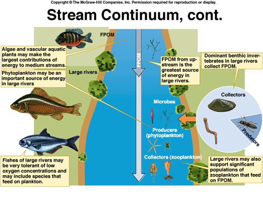 River continuum concept (kontinuerlige elver) CPOM - Coarse particulate organic matter FPOM - Fine particulate organic matter Shredders (oppdelere) spiser CPOM (grovt) Collectors (samlere) spiser FPOM (fint) FPOM øker nedover elva Antall arter/grupper øker ofte nedover både blant fisk, zooplankton, muslinger etc.