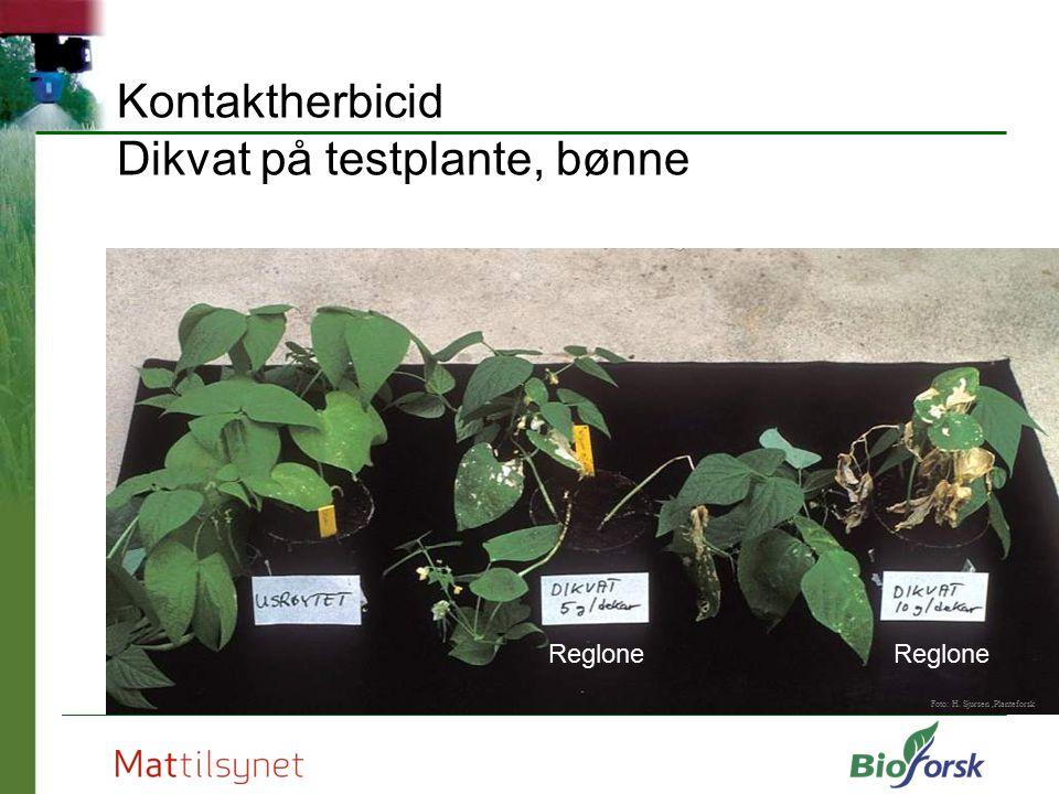 Kontaktherbicid Dikvat på testplante, bønne Foto: H. Sjursen,Planteforsk Reglone