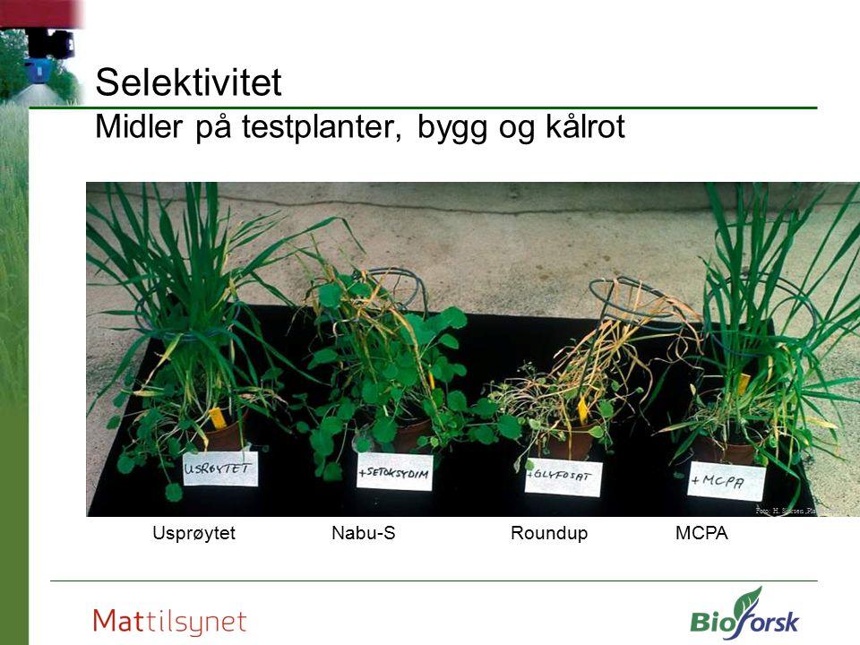 Selektivitet Midler på testplanter, bygg og kålrot Nabu-SRoundupMCPAUsprøytet Foto: H. Sjursen,Planteforsk