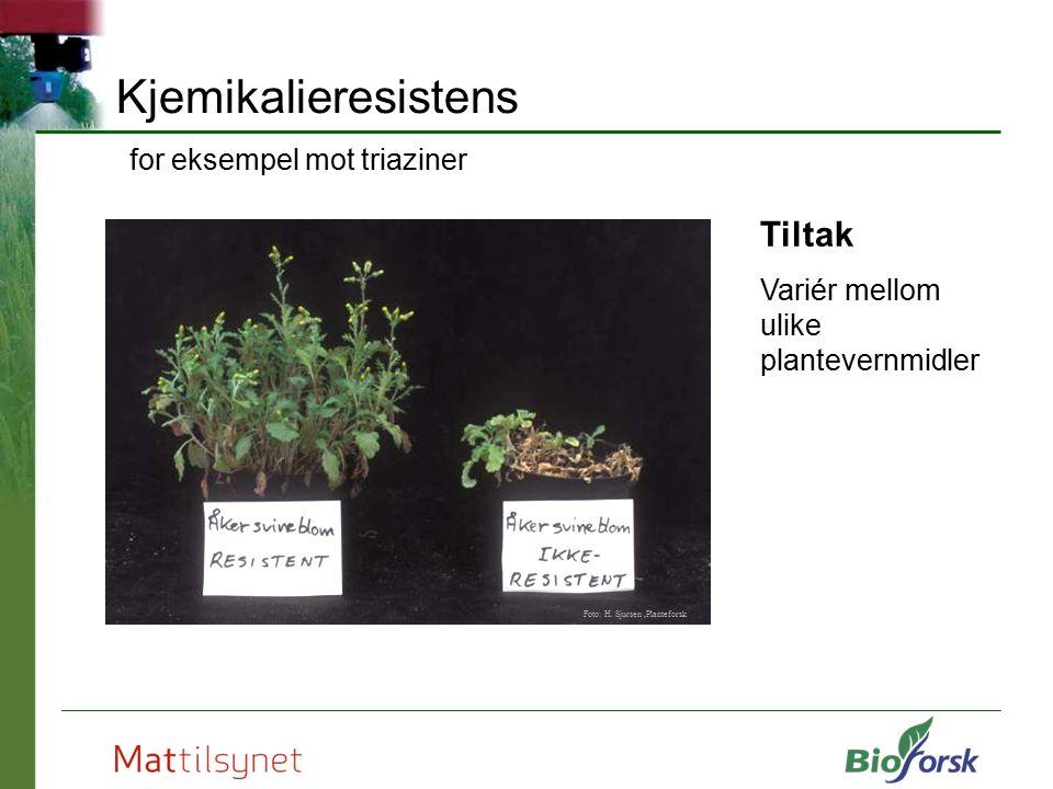 Kjemikalieresistens for eksempel mot triaziner Tiltak Variér mellom ulike plantevernmidler Foto: H. Sjursen,Planteforsk