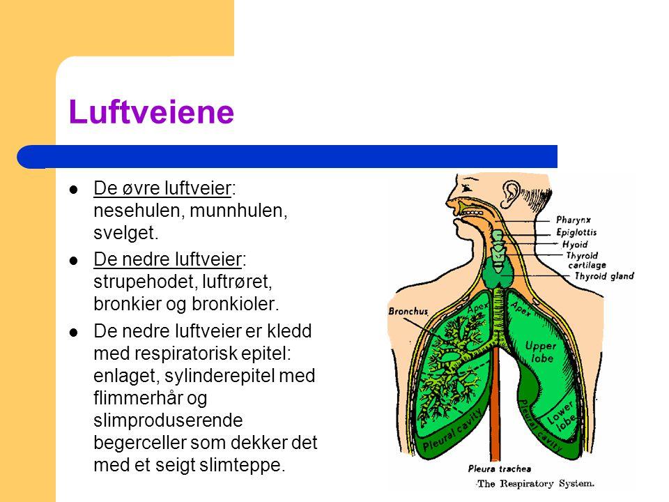 Luftveiene De øvre luftveier: nesehulen, munnhulen, svelget. De nedre luftveier: strupehodet, luftrøret, bronkier og bronkioler. De nedre luftveier er