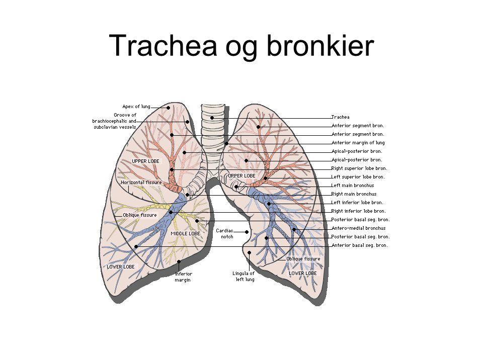 Trachea og bronkier