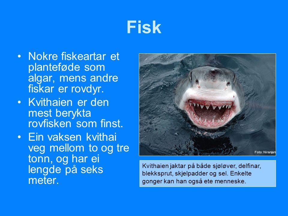 Fisk Nokre fiskeartar et planteføde som algar, mens andre fiskar er rovdyr. Kvithaien er den mest berykta rovfisken som finst. Ein vaksen kvithai veg