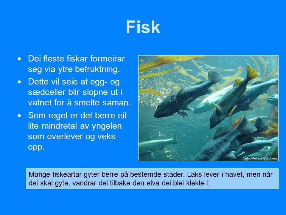 Fisk  Dei fleste fiskar formeirar seg via ytre befruktning.  Dette vil seie at egg- og sædceller blir slopne ut i vatnet for å smelte saman.  Som r