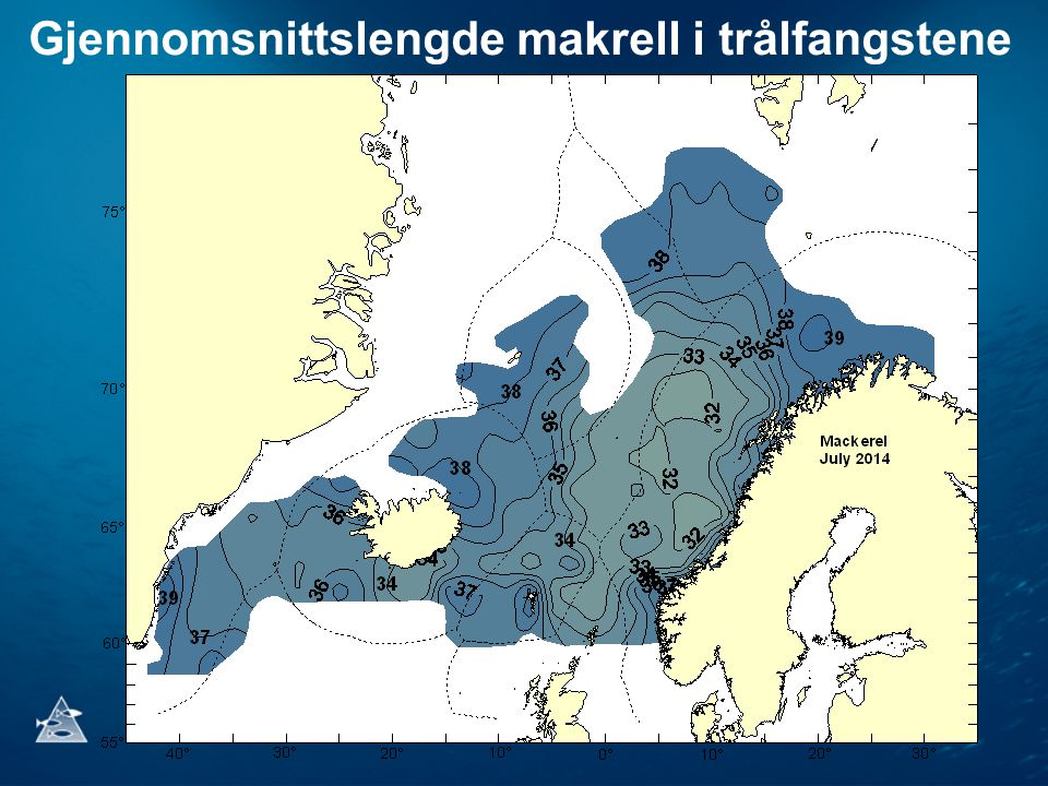 Gjennomsnittslengde makrell i trålfangstene