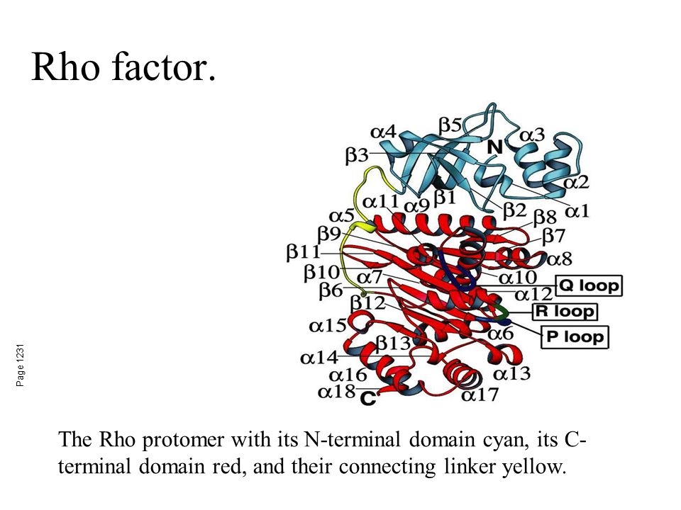 Rho factor. Page 1231 The Rho protomer with its N-terminal domain cyan, its C- terminal domain red, and their connecting linker yellow.