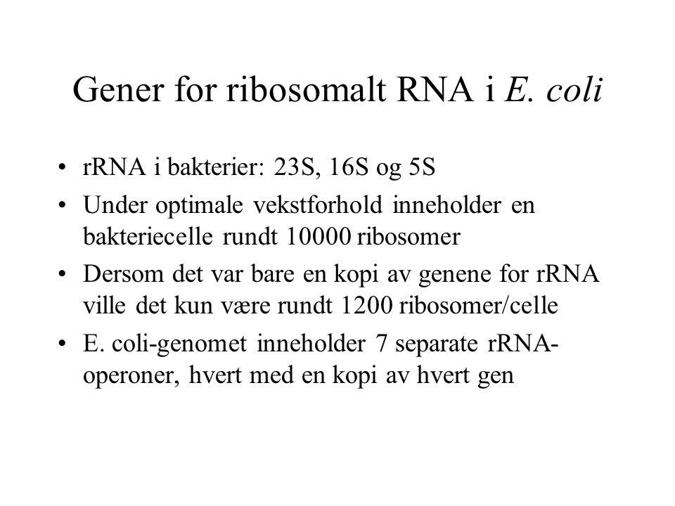 Gener for ribosomalt RNA i E. coli rRNA i bakterier: 23S, 16S og 5S Under optimale vekstforhold inneholder en bakteriecelle rundt 10000 ribosomer Ders