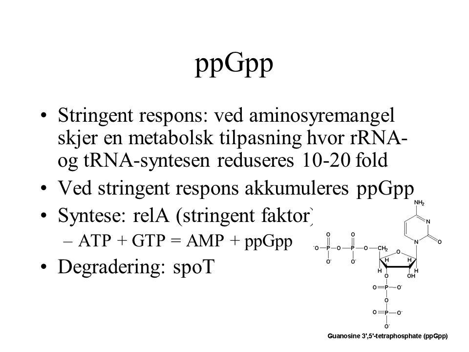 ppGpp Stringent respons: ved aminosyremangel skjer en metabolsk tilpasning hvor rRNA- og tRNA-syntesen reduseres 10-20 fold Ved stringent respons akku