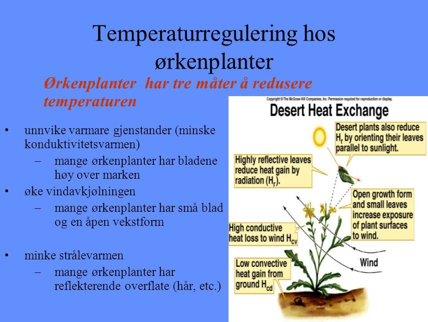 Temperaturregulering hos ørkenplanter unnvike varmare gjenstander (minske konduktivitetsvarmen) –mange ørkenplanter har bladene høy over marken øke vi
