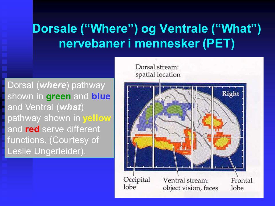 Dorsale ( Where ) og Ventrale ( What ) nervebaner i mennesker (PET) Dorsal (where) pathway shown in green and blue and Ventral (what) pathway shown in yellow and red serve different functions.
