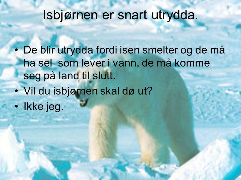 Isbjørnen er snart utrydda. De blir utrydda fordi isen smelter og de må ha sel som lever i vann, de må komme seg på land til slutt. Vil du isbjørnen s