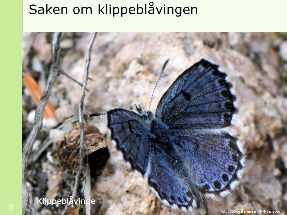 8 Saken om klippeblåvingen Klippeblåvinge Foto: ©Ove Bergersen /NN/Samfoto