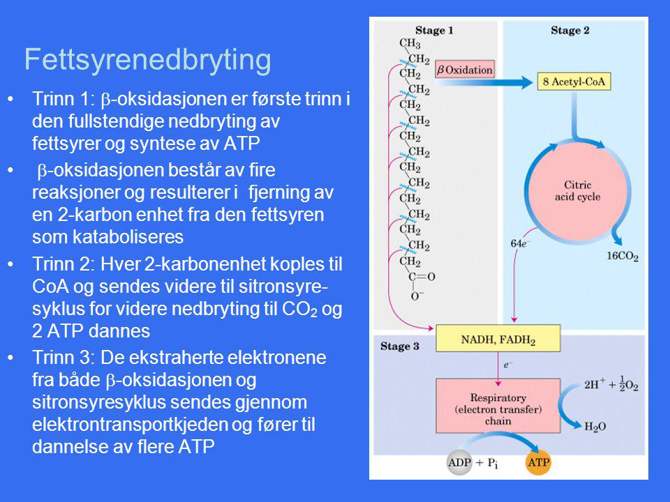 Fettsyrenedbryting Trinn 1:  -oksidasjonen er første trinn i den fullstendige nedbryting av fettsyrer og syntese av ATP  -oksidasjonen består av fire reaksjoner og resulterer i fjerning av en 2-karbon enhet fra den fettsyren som kataboliseres Trinn 2: Hver 2-karbonenhet koples til CoA og sendes videre til sitronsyre- syklus for videre nedbryting til CO 2 og 2 ATP dannes Trinn 3: De ekstraherte elektronene fra både  -oksidasjonen og sitronsyresyklus sendes gjennom elektrontransportkjeden og fører til dannelse av flere ATP