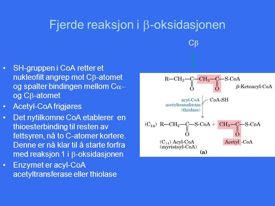 Fjerde reaksjon i  -oksidasjonen SH-gruppen i CoA retter et nukleofilt angrep mot C  -atomet og spalter bindingen mellom C  og C  -atomet Acetyl-CoA frigjøres Det nytilkomne CoA etablerer en thioesterbinding til resten av fettsyren, nå to C-atomer kortere.
