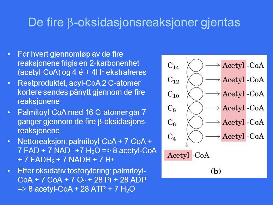 De fire  -oksidasjonsreaksjoner gjentas For hvert gjennomløp av de fire reaksjonene frigis en 2-karbonenhet (acetyl-CoA) og 4 é + 4H + ekstraheres Restproduktet, acyl-CoA 2 C-atomer kortere sendes pånytt gjennom de fire reaksjonene Palmitoyl-CoA med 16 C-atomer går 7 ganger gjennom de fire  -oksidasjons- reaksjonene Nettoreaksjon: palmitoyl-CoA + 7 CoA + 7 FAD + 7 NAD + +7 H 2 O => 8 acetyl-CoA + 7 FADH 2 + 7 NADH + 7 H + Etter oksidativ fosforylering: palmitoyl- CoA + 7 CoA + 7 O 2 + 28 Pi + 28 ADP => 8 acetyl-CoA + 28 ATP + 7 H 2 O