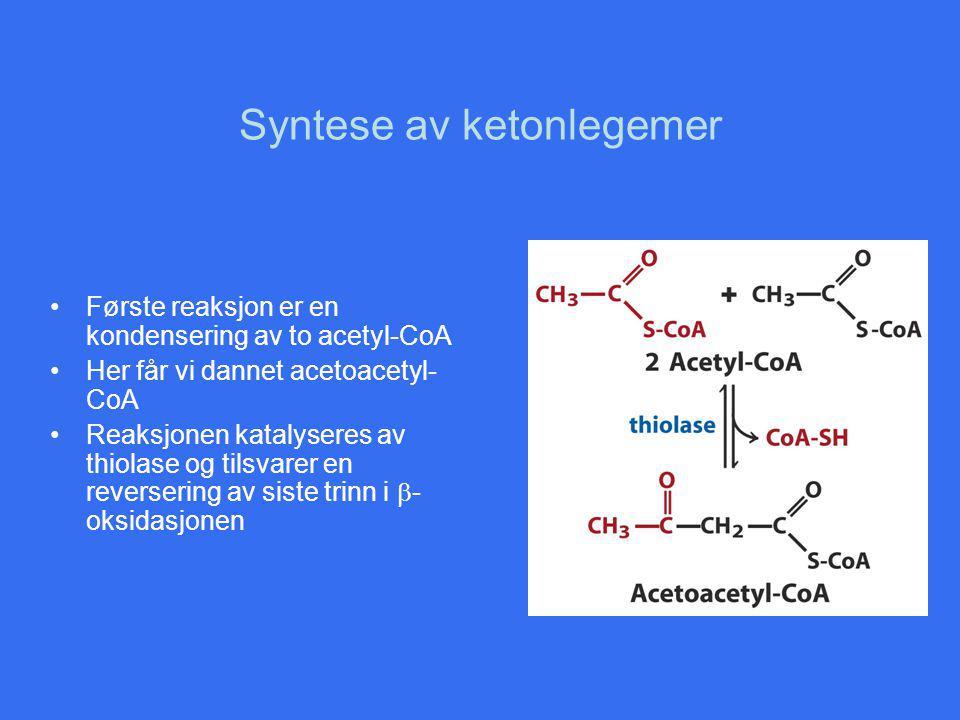 Syntese av ketonlegemer Første reaksjon er en kondensering av to acetyl-CoA Her får vi dannet acetoacetyl- CoA Reaksjonen katalyseres av thiolase og tilsvarer en reversering av siste trinn i  - oksidasjonen