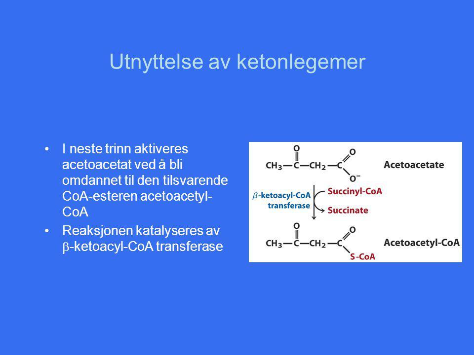 Utnyttelse av ketonlegemer I neste trinn aktiveres acetoacetat ved å bli omdannet til den tilsvarende CoA-esteren acetoacetyl- CoA Reaksjonen katalyseres av  -ketoacyl-CoA transferase