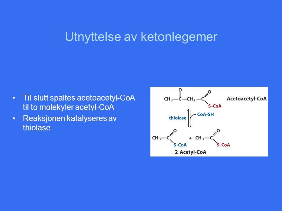 Utnyttelse av ketonlegemer Til slutt spaltes acetoacetyl-CoA til to molekyler acetyl-CoA Reaksjonen katalyseres av thiolase