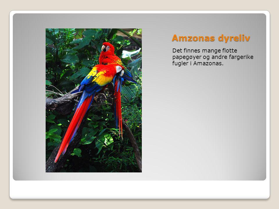 Amzonas dyreliv Det finnes mange flotte papegøyer og andre fargerike fugler i Amazonas.