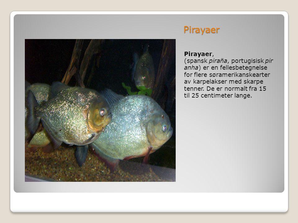 Pirayaer Pirayaer, (spansk piraña, portugisisk pir anha) er en fellesbetegnelse for flere søramerikanskearter av karpelakser med skarpe tenner. De er