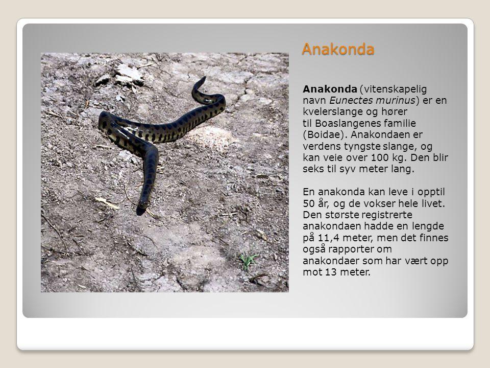 Anakonda Anakonda (vitenskapelig navn Eunectes murinus) er en kvelerslange og hører til Boaslangenes familie (Boidae). Anakondaen er verdens tyngste s