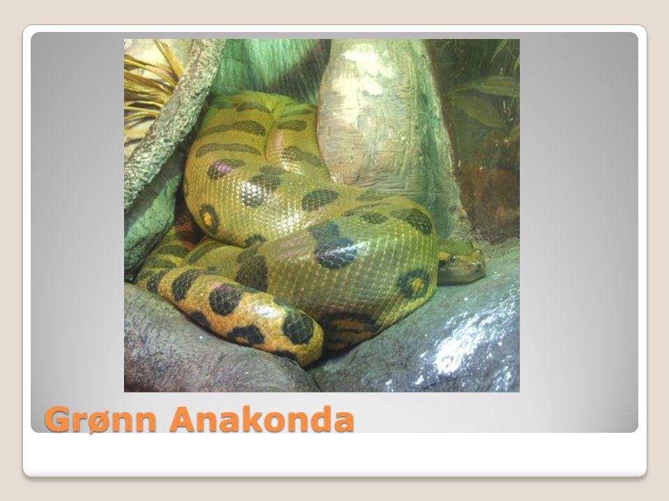 Grønn Anakonda