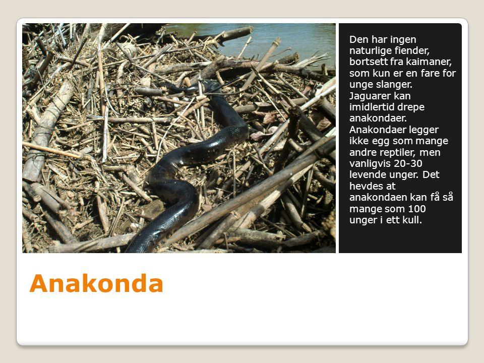 Anakonda Den har ingen naturlige fiender, bortsett fra kaimaner, som kun er en fare for unge slanger. Jaguarer kan imidlertid drepe anakondaer. Anakon