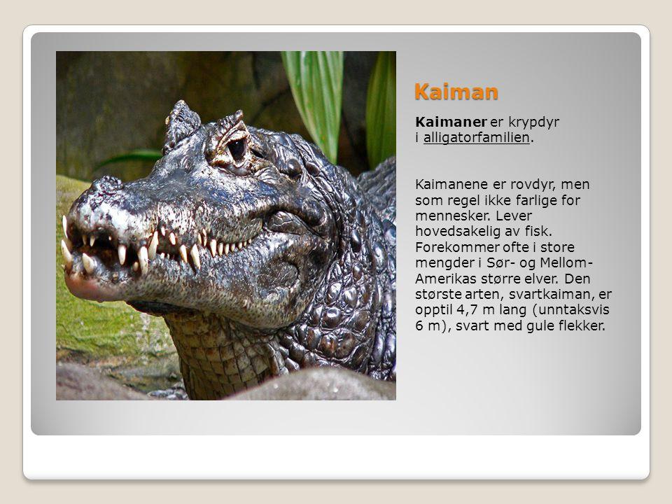 Kaiman Kaimaner er krypdyr i alligatorfamilien. Kaimanene er rovdyr, men som regel ikke farlige for mennesker. Lever hovedsakelig av fisk. Forekommer