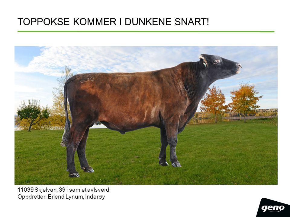 TOPPOKSE KOMMER I DUNKENE SNART! 11039 Skjelvan, 39 i samlet avlsverdi Oppdretter: Erlend Lynum, Inderøy