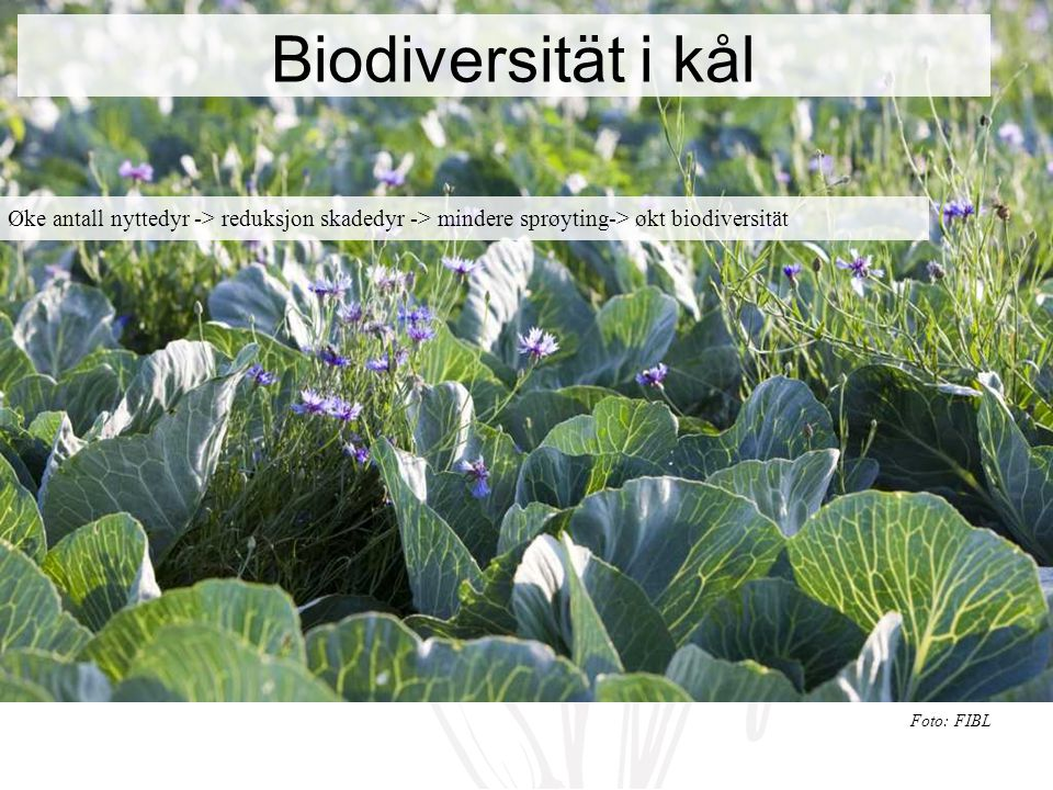 Biodiversität i kål Øke antall nyttedyr -> reduksjon skadedyr -> mindere sprøyting-> økt biodiversität Foto: FIBL