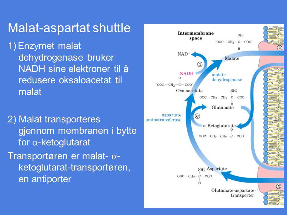 1) Enzymet malat dehydrogenase bruker NADH sine elektroner til å redusere oksaloacetat til malat 2) Malat transporteres gjennom membranen i bytte for