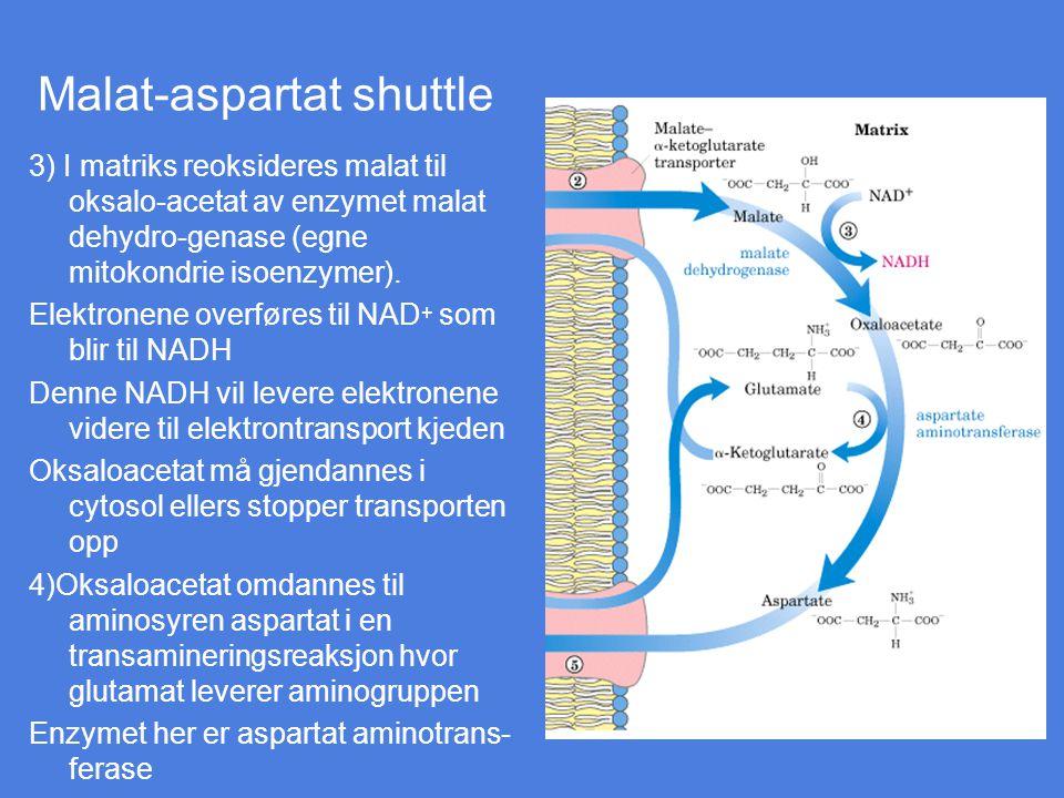 Malat-aspartat shuttle 3) I matriks reoksideres malat til oksalo-acetat av enzymet malat dehydro-genase (egne mitokondrie isoenzymer). Elektronene ove