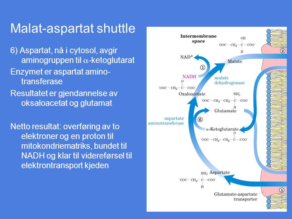 Malat-aspartat shuttle 6) Aspartat, nå i cytosol, avgir aminogruppen til  -ketoglutarat Enzymet er aspartat amino- transferase Resultatet er gjendann