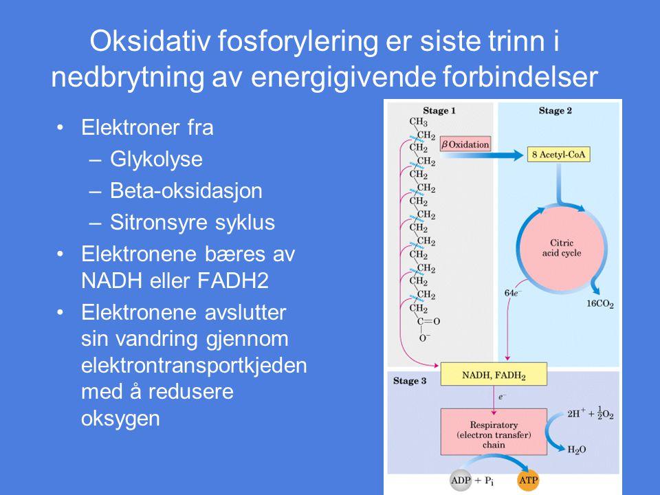 Oksidativ fosforylering er siste trinn i nedbrytning av energigivende forbindelser Elektroner fra –Glykolyse –Beta-oksidasjon –Sitronsyre syklus Elekt