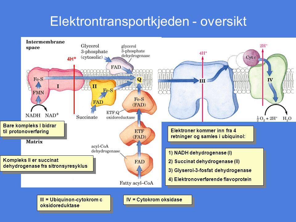 Elektrontransportkjeden - oversikt Kompleks II er succinat dehydrogenase fra sitronsyresyklus Bare kompleks I bidrar til protonoverføring Elektroner k