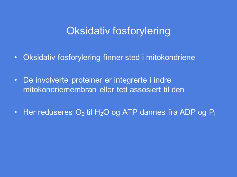 Oksidativ fosforylering Oksidativ fosforylering finner sted i mitokondriene De involverte proteiner er integrerte i indre mitokondriemembran eller tet