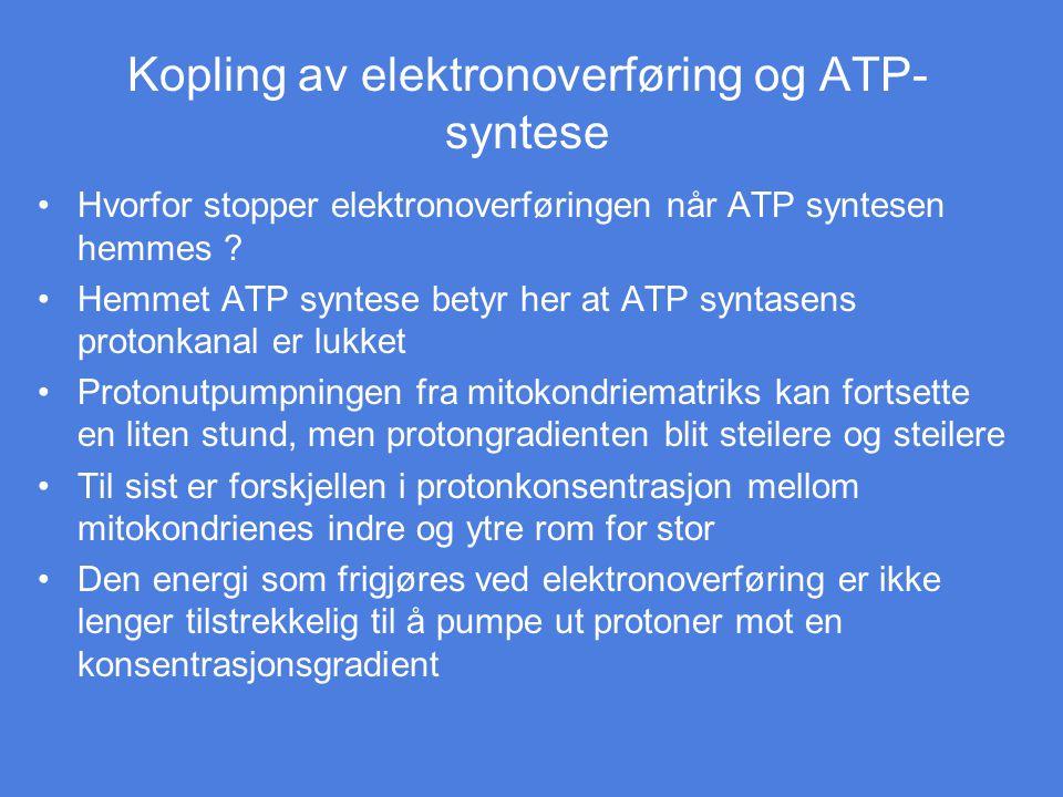 Kopling av elektronoverføring og ATP- syntese Hvorfor stopper elektronoverføringen når ATP syntesen hemmes ? Hemmet ATP syntese betyr her at ATP synta