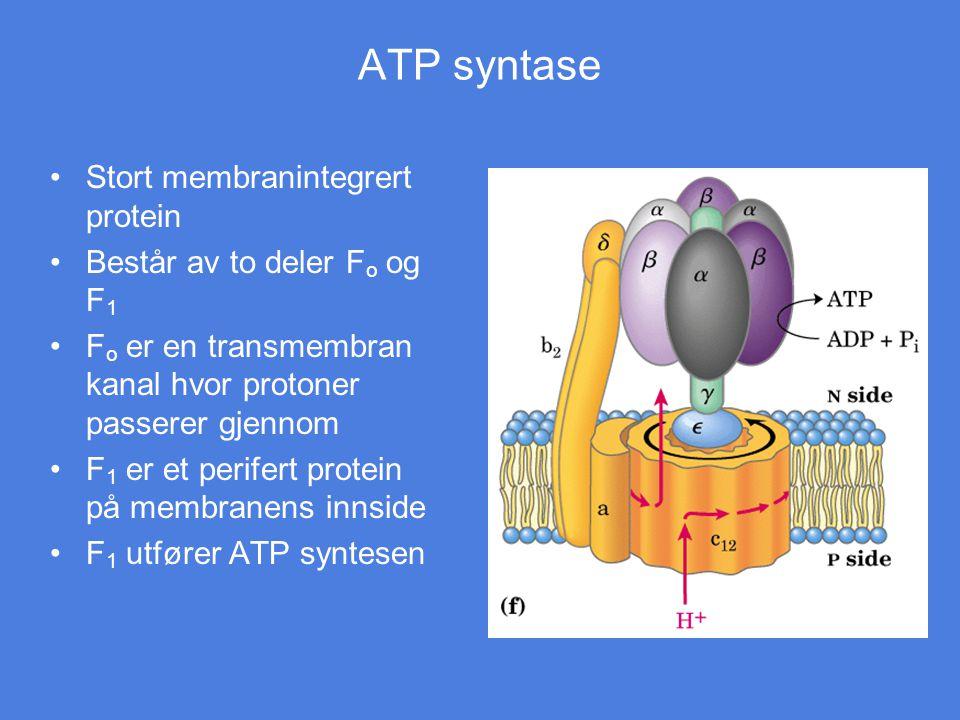 ATP syntase Stort membranintegrert protein Består av to deler F o og F 1 F o er en transmembran kanal hvor protoner passerer gjennom F 1 er et perifer