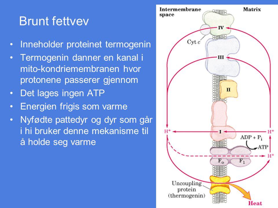Brunt fettvev Inneholder proteinet termogenin Termogenin danner en kanal i mito-kondriemembranen hvor protonene passerer gjennom Det lages ingen ATP E