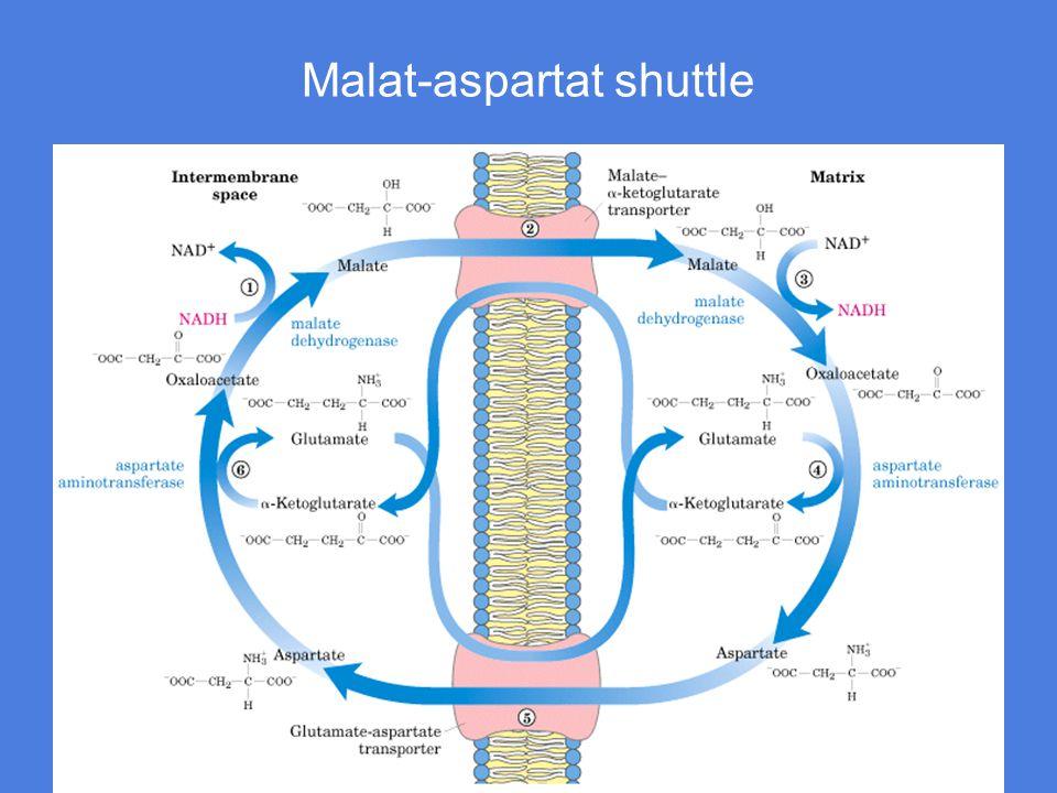 1) Enzymet malat dehydrogenase bruker NADH sine elektroner til å redusere oksaloacetat til malat 2) Malat transporteres gjennom membranen i bytte for  -ketoglutarat Transportøren er malat-  - ketoglutarat-transportøren, en antiporter