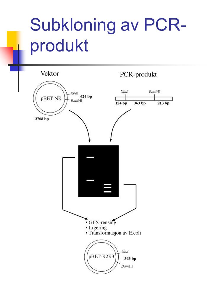 Subkloning av PCR- produkt