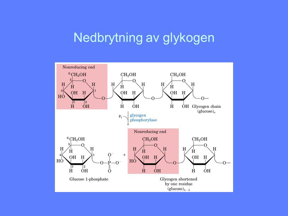 Hvordan lages nye glykogenmolekyler Glykogenin fungerer som primer og enzym ved syntese av nye glykogenmolekyler Tyr 194 glykosyleres av glykosyltransferase UDP-glukose leverer glukosemolekylet Glykogen syntase koples på Glykosyltransferase bygger opp glukosepolymeren til ca 7 glukoseenheter Glykogen syntase overtar polymeriseringen og polymeren frigjøres etterhvert I sentrum av hvert glykogenkorn ligger et glykogenin bundet til en redusernde ende