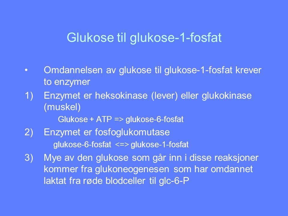 Regulering av glykogen syntesen Glykogen syntase stimuleres av insulin, glukose, glukose-6-fosfat Glykogen syntase hemmes av glukagon, adrenalin