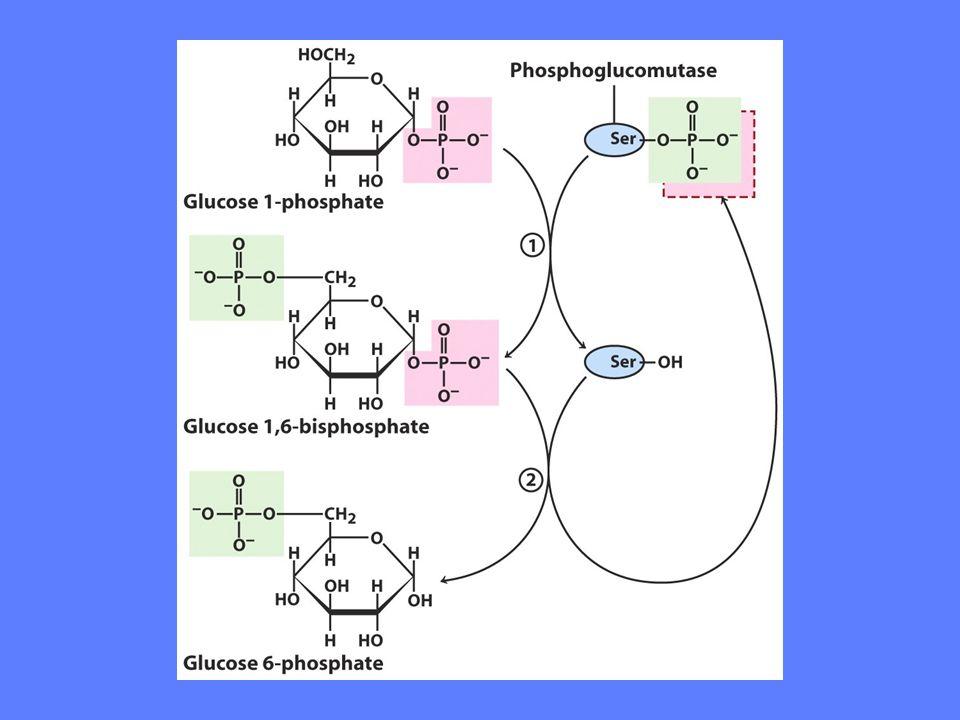 Regulering av heksokinase Heksokinase er allosterisk regulert (hemmet) av sitt eget produkt Heksokinasen i muskel har lav Km (0,1 mM).