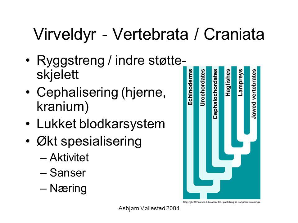 Asbjørn Vøllestad 2004 Virveldyr - Vertebrata / Craniata Ryggstreng / indre støtte- skjelett Cephalisering (hjerne, kranium) Lukket blodkarsystem Økt